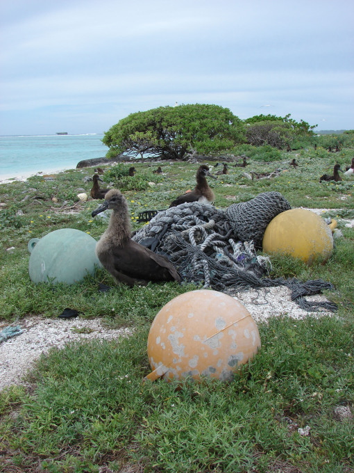 Out to Sea? Albatross and plastic trash at Southwest Eastern Island, Midway Atoll, 2008, Photo: © Forest & Kim Starr