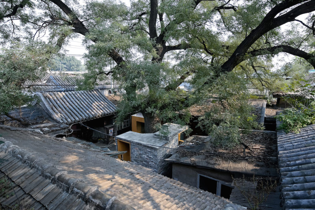 A large ash tree spreads over the Cha'er Hutong No. 8 in inner city Beijing, its redesign and renovation completed in 2014.