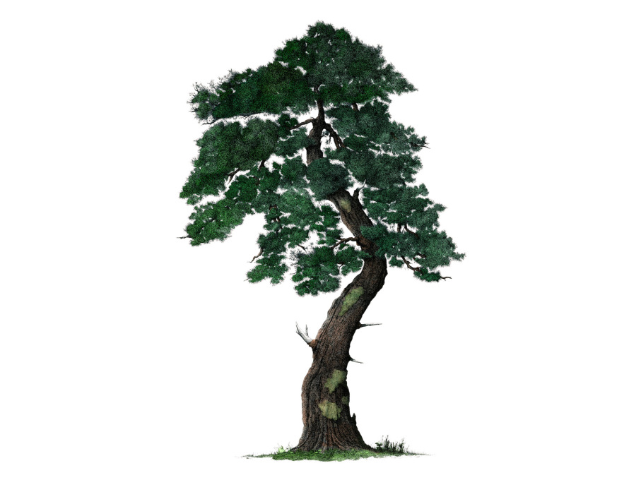 Pine tree. An example of Herem's newfound focus on trees.